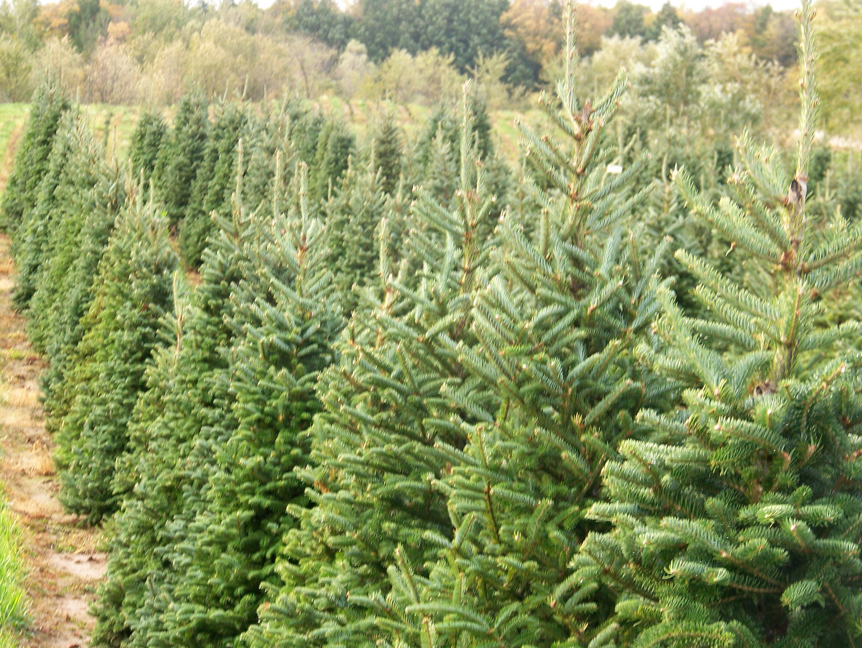 Christmas Tree Farms Minnesota